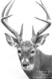 Buck in Black and White
