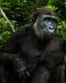 Gorilla Waiting
