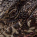Closeup - Argentine Black and White Tegu