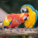 Scarlet Macaw and a Blue and gold Macaw nuzzling