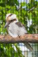 Kookaburo