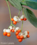 Fall Berries by Jan Lewis