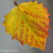 Poplar Leaf by Jan Lewis
