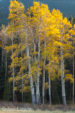 Aspen Glow by Jan Lewis