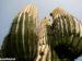 Arizon Cactus