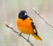 Baltimore Oriole 2011