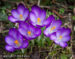 Crocus by Jan Lewis