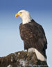 Bald Headed Eagle