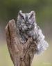 Eastern Screech Owl - grey morph